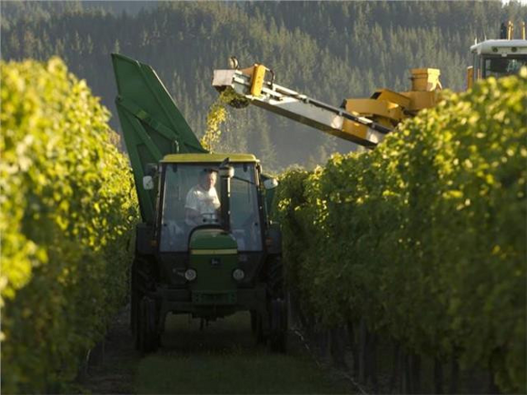 giesen_vineyard_harvest