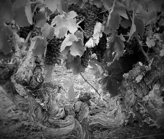 old_vine_shiraz_feb_2015_cropped