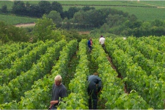 domaine-billaud-simon_vendange